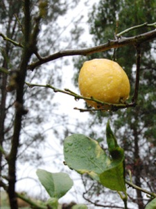 Lemon on a barren lemon tree in the garden of the Sisters of Notre Dame at Notre Dame Center in Thousand Oaks CA