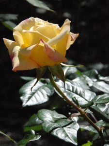 Yellow rose in garden of Notre Dame Center