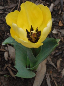 A battered yellow tulip in the garden at Notre Dame Center